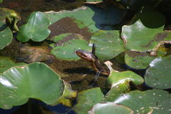 Snake. A snake in the lily pads Stock Photo