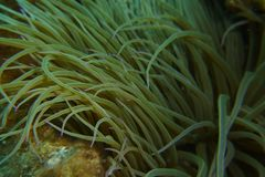 A Snake-locks anemone with pink tips. This is a  Snake-locks anemone with pink tips stock photo
