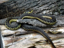 Snake on a Log. A snake coiled on a log royalty free stock photos