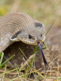 Snake with long tongue. Harmless Hognosed snake with its tongue out stock image