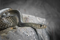 Snake in low key Royalty Free Stock Photo