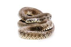 Snake. Lying isolated on white background stock photos