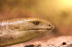 Snake lying on the sand under the scorching sun Royalty Free Stock Photos