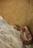 Snake, Malayan Pit Viper. Royalty Free Stock Photography