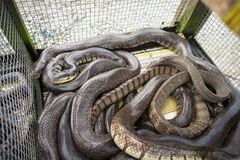 Snake in market sold in Mekong delta, South Vietnam stock photography