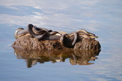 Snake mating Royalty Free Stock Photo