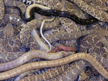 Snake Medley. An variety of snakes are caught during the spring roundup in Okeene, Oklahoma stock image
