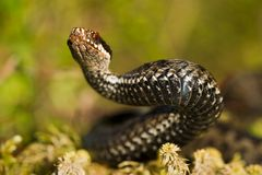 Snake in a menacing pose. The viper lies on green to a moss and has threateningly lifted a head Stock Images