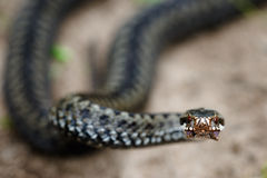 Snake in a menacing pose. Royalty Free Stock Photography
