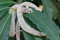 Snake molt Royalty Free Stock Photography