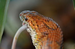 Snake and mouse. Corn snake and mouse as food Royalty Free Stock Image