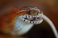 Snake and mouse. In terrarium Stock Images