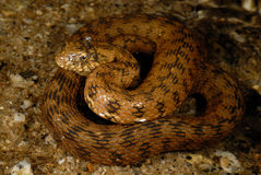 Snake Natrix maura in Alpedrete, Madrid, Spain stock images