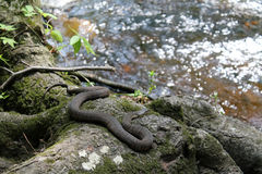 Snake in nature. Northern water snake in its natural habitat by the river. outdoors, natural light. sunny summer day at Bushkill Falls, Pennsylvania stock images