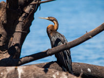 Snake neck bird (darter or anhinga) Stock Photography