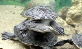 Snake-necked turtle Stock Image