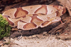 Snake-Northern copperhead Royalty Free Stock Photo
