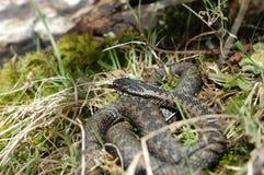 snake norweskie Zdjęcia Royalty Free