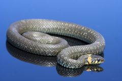 Snake over the blue background Stock Photo