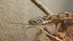Snake peaking out between wood royalty free stock photography