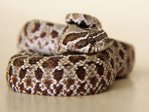 Snake: pensive, sad, frightened, or surprised?. A western hognose snake shows an uncertain but bright emotion. Neutral background.n royalty free stock image