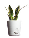 Snake plant. Or mother in law`s tongue - sansevieria trifasciata  isolated in white background Stock Image