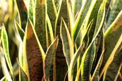 Snake Plant. Many snake plant cluster against the light,green and yellow lines royalty free stock image