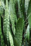 Snake plant Royalty Free Stock Photography