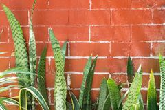Snake plant at the bottom of a brown brick wall.  stock image