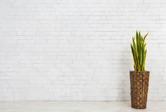 Free Snake Plant In Pot On White Background Royalty Free Stock Image - 141001696