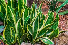 Snake plant leaves in closeup in a tropical garden, very popular plant in horticulture, decorative garden and houseplants. Snake plant leaves in closeup in a royalty free stock image