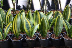Snake plant. Lots of pot Snake plant in Garden stock photography