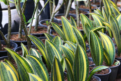 Snake plant. Lots of pot Snake plant in Garden stock photos