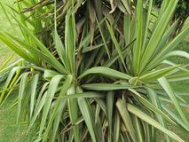 SNAKE PLANT ALSO KNOWN AS MOTHER IN LAWS TONGUE. THE SNAKE PLANT PREFER BRIGHT LIGHT BUT ALSO GROWN WELL IN SHADY CORNERS .PLACE THE PLANT IN WARM SPOT WITH royalty free stock images