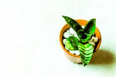 Snake plant. In pot and white background stock photo
