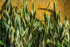 Snake plant Stock Photos