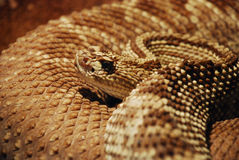 Snake portrait Stock Image