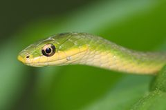 Snake portrait. Macro close-up portrait of a snake Stock Image