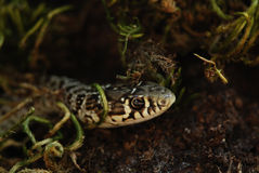 Snake portrait Royalty Free Stock Images