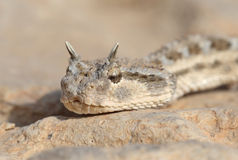 Snake portrait - Horned viper. A portrait of a wild horned viper - Cerastes cerastes royalty free stock image