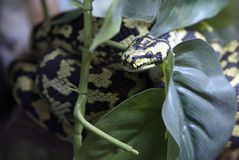 Snake Python Royalty Free Stock Photos