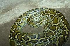 Snake Python. Nicknamed as Flower Snake,it is a large size colubrid which belongs to Coluber Stock Photo
