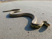Snake in Quebec. Canada, north America. Royalty Free Stock Photography