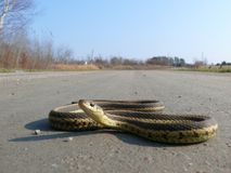 Snake in Quebec. Canada, north America. Stock Image