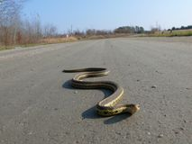 Snake in Quebec. Canada, north America. Stock Photography