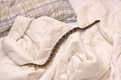 Snake on Quilt. Young ball bython (Python Regius) pet snake crawling on a quilt covering a bed Stock Image