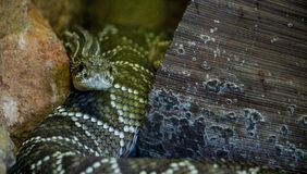 Snake ready to attack Royalty Free Stock Image