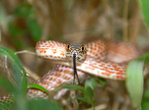 Snake ready to strike. This is a western hog nose snake ready to strike Royalty Free Stock Photos
