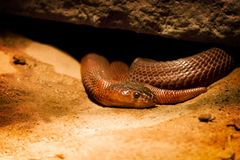 Snake, Red Spitting Cobra under rock. Red Spitting Cobra, snake, lounges in the sand under Rock, side view, eye and scale detail Royalty Free Stock Photography
