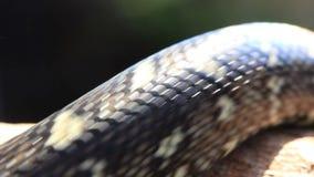 Snake Reptile Diamond Python stock footage